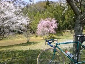 20110416_sakura